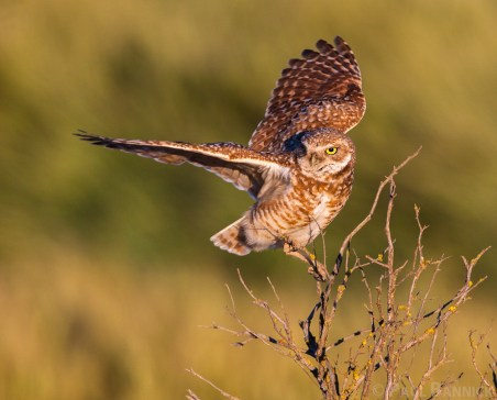 A Burrowing Owl balances atop an old sage brush snag. Elevated isolated perches are nescessary habitat elements in the grassy, open landscape.