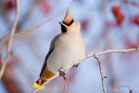 A Bohemian Waxwing pauses among crab-apples in Manitoba.