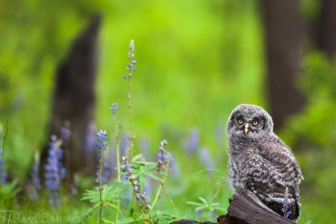 A Great Gray Owl owlet, 2 weeks out of the nest, pauses before choosing another tree to climb.