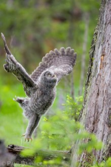 Once Great Gray Owls leave the nest, they must climb snags and leaning trees to reach safety off of the ground.