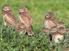 Six juvenile Burrowing Owls wait for a prey delivery at the entrance to their nest.