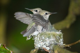 An Annas Hummingbird nestling clings to the lip of the nest to avoid being knocked out by its sibling testing its wings.