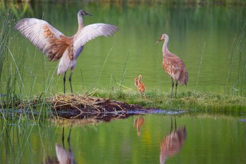 A family of Sandhill Cranes wakes at sunrise before one of the parents leaves the safety of the island to hunt for food.