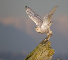 A Snowy Owl divers towards potential prey from its driftwood perch.
