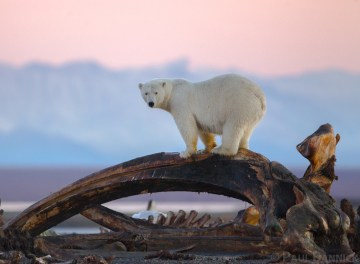 A Polar Bear looks for food from the top of a whale jaw along the ANWR Coastal plain.