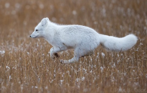 An Arctic Fox prances across the Arctic tundra.