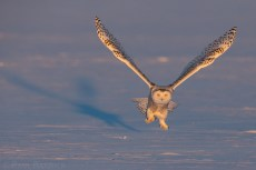 Snowy Owls are North America's heaviest owls and must generate great force with their long wings to take flight directly from the ground.