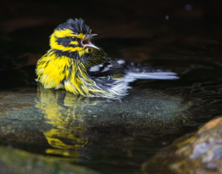 A male Townsend's Warbler calls to other warblers from a pond where he is bathing.