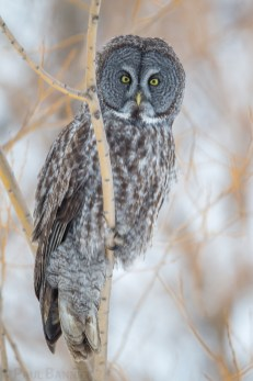 A Great Gray Owl hunts from the bare branches of a willow at the edge of a meadow.