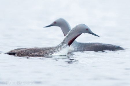 Two Red-throated Loons pass each other as they hunt for fish in a tundra pond.