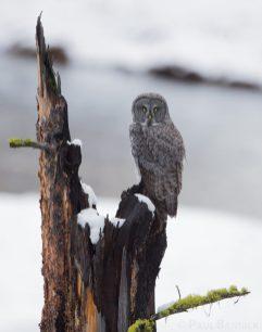 A juvenile Great Gray Owl hunts alongside a slow moving river.
