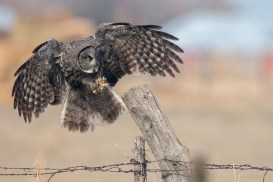 A Great Gray Owl flys from fence-post to fence-post as it looks for prey.