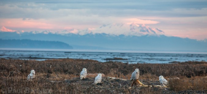 Five Snowy Owls roost on a Pacific Northwest beach with Mount Baker looming in the background.