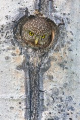 A female Pygmy Owl pops up to fill the nest cavity entrance, where she calls for her mate to deliver food.