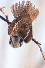 A Northern Hawk Owl snaps from a perched position into a dive. Northern Hawk Owls possess keen eyesight, allowing them to locate prey the size of a vole from a half- mile away.