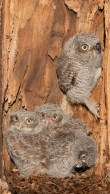 An Eastern Screech Owl nestling climbs the inner wall of its nest cavity and prepares to look out, while its siblings remain together below.