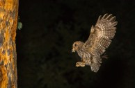 A Flammulated Owl arrives at its nest with a moth to feed to its young waiting in the nest cavity.