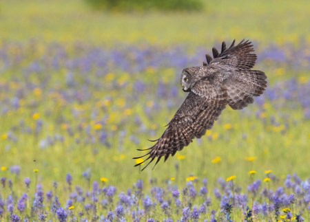A Great Gray Owl flies low over a mountain meadow in the Canadian Rockies where it is hunting pocket gophers and voles.