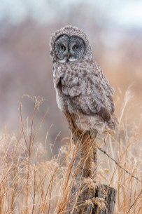 A Great Gray Owl, wind at its back, hunts from a ranchland fencepost.