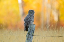Juvenile Great Gray Owls gain their independence slowly but are normally on their own by the time the surrounding aspen are at their peak color.