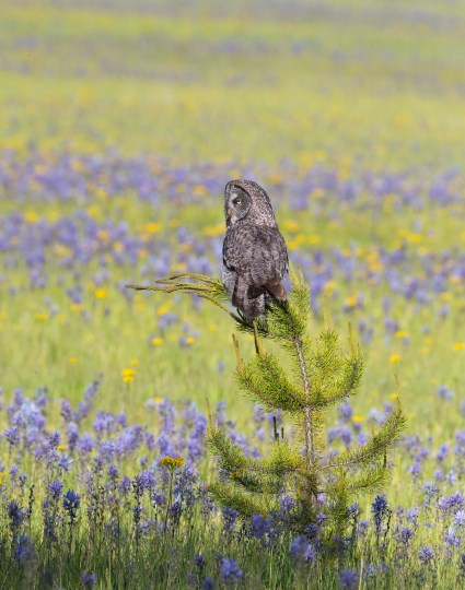 A Great Gray Owl hunts from a Lodgepole Pine sapling in a wildflower meadow.