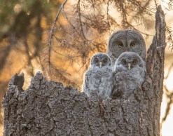 Yosemite Great Gray Owl with Owlets (2963)