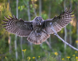 Male Great Gray Owls do the majority of the hunting for the family. They will usually consume smaller prey such as this recently captured shrew and will bring larger prey such as voles and gophers back to their mate and young.