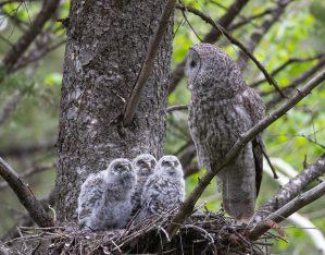 Great Gray Owl (9881)