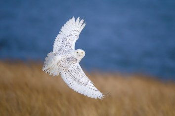 Migratory and irruptive Snowy Owls spend winters in places that look much like their tundra breeding habitat. These are often broad, open and grassy places near the ocean or other water.