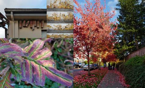Four subjects from the about 200 photographed Saturday (10-24-9) while on a Wallingford walk.  If anyone knows the familiar name for that exotic leaf please share it with a comment.