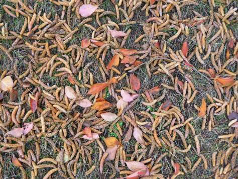 Synapses - Seeds and leaves on a Wallingford front lawn.