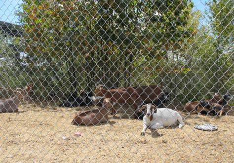 Rented goat relaxing from their clearing labor in the grade separation on N.E. 40th Avenue. This nutritious labor took about eleven days, after which the goats returned to Vashon Island. Their fence, however, is still up at this writing.