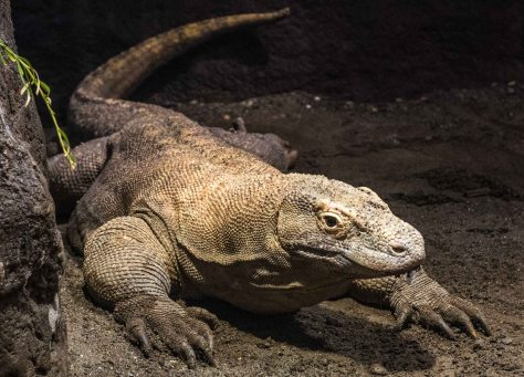 And if the otter isn't to your taste, try the Komodo dragon - at 8 feet long representative of the largest lizards on earth