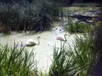 Grenadier Pond with a Family of Swans