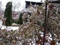 Ice Storm 2013: Rose Bush