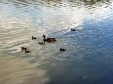 Mother duck and Ducklings enjoy the day