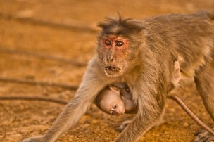 monkey protecting baby