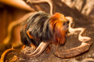 long haired monkey with reddish head