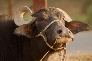 type of cow in India