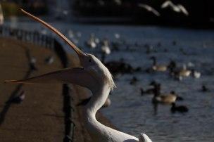 pelican begging for food