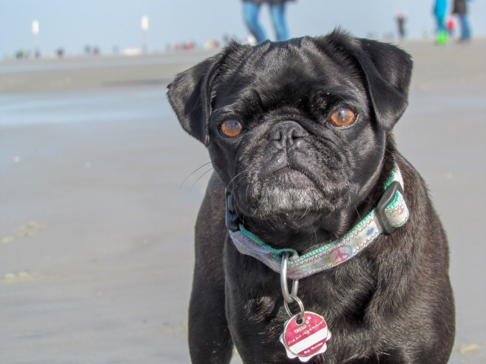 Jaaaa, ich bin ein Strand-Mops.