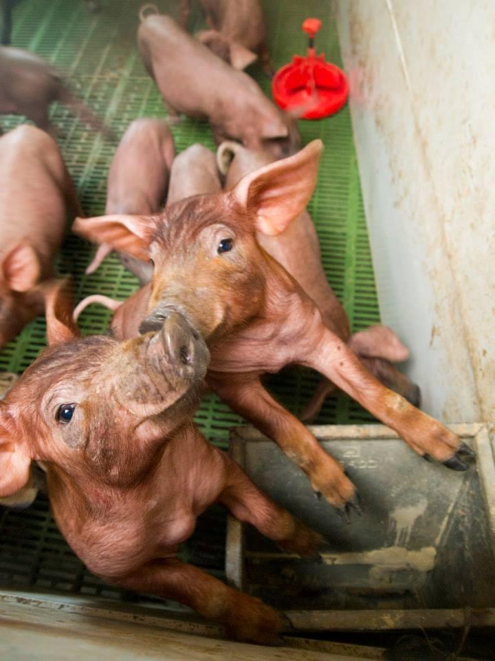Dos cochinillos rosas dándose un beso en una granja