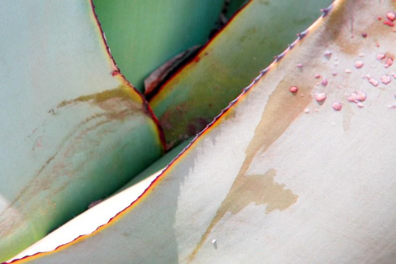 Agave I Photographie 60 x 40 cm auf Alu-Dibond