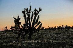 Joshua tree in the mojave desert