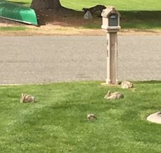bunnies in front of our house