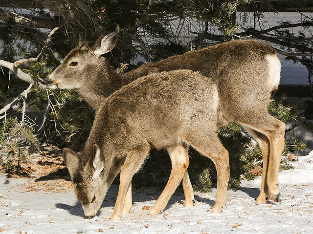 two deer lunching in the snow