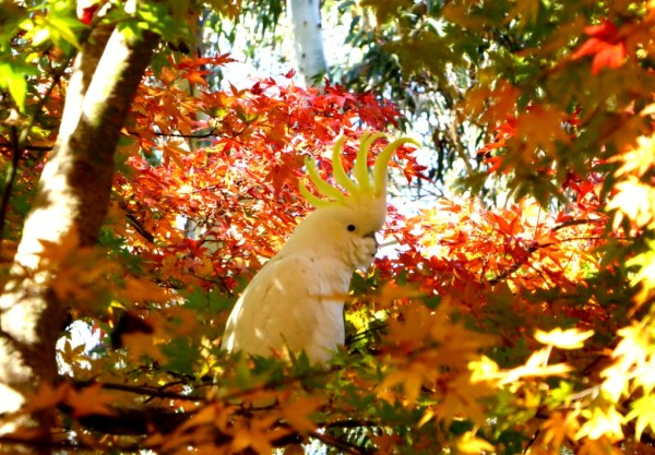 Sulphur crested cockatoo showing off!!