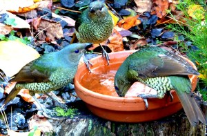 Satin bower birds.