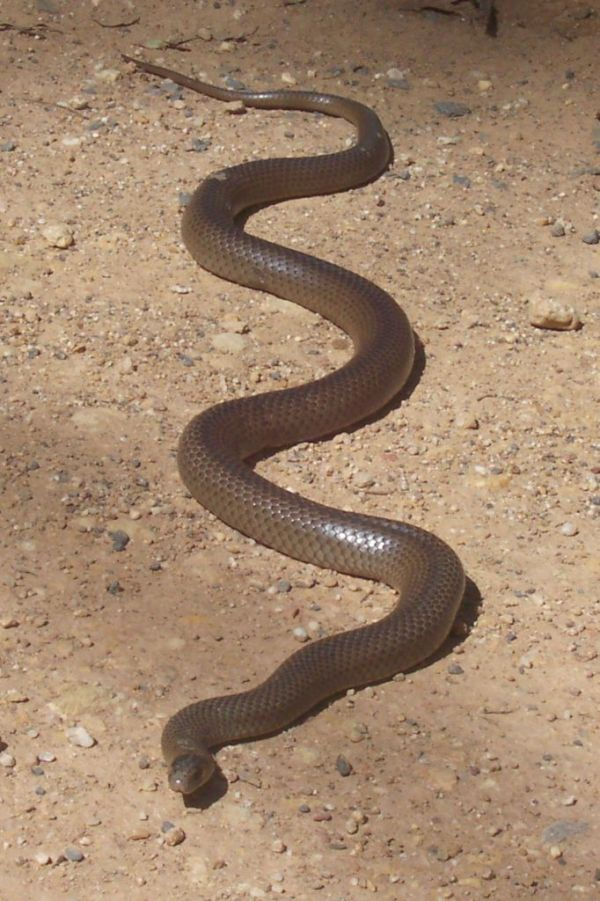 The Eastern Brown Snake; not to be provoked!