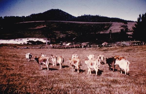 Dairy heard Tasmania 1960s